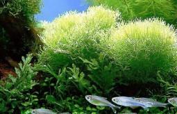 Spirulina – alga o szerokim spektrum działania