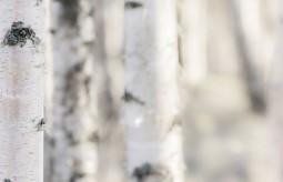 Betuleco – esencja brzozy na mocne włosy i zdrową skórę
