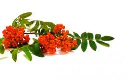 Jarzębina – jesienny skarb natury